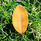 Yellow leaf on a grass. Royalty Free Stock Photography