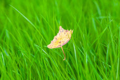 Yellow leaf on green grass. Autumn leaf birch Stock Images