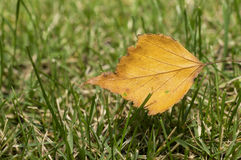 Yellow leaf on green grass Stock Images