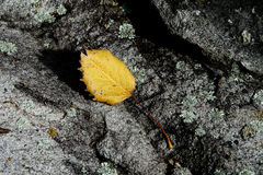 Yellow leaf on a grey stone at fall. A yellow leaf sitting on a grey stone during fall season after falling down a tree in Canada Royalty Free Stock Photo
