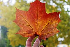 Yellow leaf in hand close up. Autumn royalty free stock photo