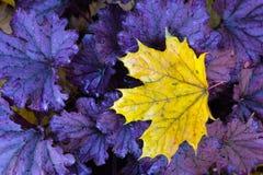 Yellow leaf on heuchera plant. Stock Photography