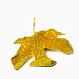 Yellow leaf isolated on white Stock Images