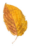 Yellow leaf isolated on white Royalty Free Stock Photography