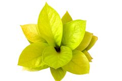 Yellow leaf isolated on white background stock photography