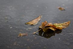 Yellow leaf lies in a puddle. Autum. Rain Stock Images