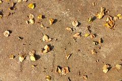 Yellow leaf linden Stock Image