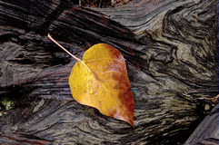 Yellow leaf on log. Stock Image