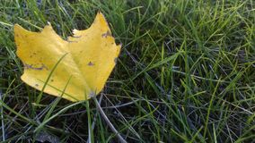 Yellow leaf lying on the green grass stock photography