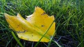 Yellow leaf lying on the green grass stock photo