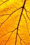 Yellow leaf - macro. Yellow maple leaf in the autumn - macro Royalty Free Stock Photo