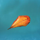 Yellow leaf from mango tree on blue water, floating leaf, orange leaf of autumn