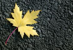 Yellow leaf of maple on asphalt. top view. Copy spaces stock photo