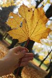 A Leaf from Maple in the Hand. Yellow leaf Maple in the Hand Royalty Free Stock Image