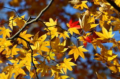 Yellow leaf Maple Royalty Free Stock Photos