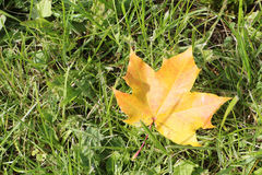 The yellow leaf of a maple which fell to a grass Royalty Free Stock Photography