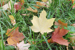 The yellow leaf of a maple which fell to a grass. In the fall royalty free stock images