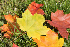 The yellow leaf of a maple which fell to a grass. In the fall stock images