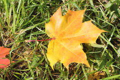 The yellow leaf of a maple which fell to a grass. In the fall stock photos