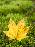 Yellow leaf on moss Royalty Free Stock Photo