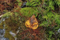 Yellow leaf on mossy rock. A yellow leaf lays on a moss covered rock in Washington Royalty Free Stock Image