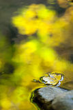 Yellow leaf with mountain stream. Stock Photography