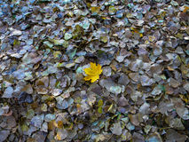 Stand out from the crowd. Nature shows us how being different makes one stand out from the crowd: a yellow leaf fallen on other different ones cathces ones Royalty Free Stock Photos