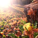 Yellow leaf on the old tree stump in the autumn park Royalty Free Stock Photo