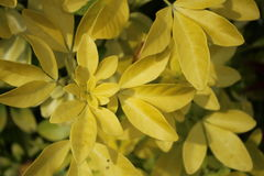 Yellow leaf plant. Growing in a garden. Plants Stock Images