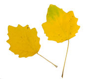 Yellow leaf of poplar tree isolated on white bac Stock Photo