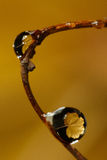 Yellow leaf reflection in droplets. Yellow maple tree leaf reflection in droplets Stock Image