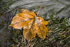 Yellow leaf in the river Stock Photo