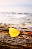 Yellow leaf on rock. On seaside in HK, China Royalty Free Stock Image