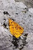 Yellow leaf on rock. Royalty Free Stock Image