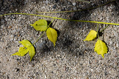 Yellow  leaf in the rocky ground Stock Photo