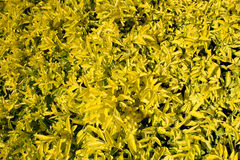 Yellow leaf shrub Stock Photography