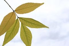 A leaf falls from the tree. This is a yellow leaf on the sky background Stock Photography