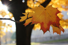 Yellow leaf sunny autumn day Royalty Free Stock Photo