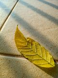 Yellow leaf on tile floor. From African tulip tree, Fire bell, Fouain tree, Flame of the Forest royalty free stock photos