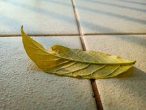 Yellow leaf on tile floor. From African tulip tree, Fire bell, Fouain tree, Flame of the Forest stock image