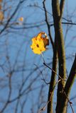 Yellow leaf on the tree. In autumn Royalty Free Stock Photography