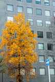 The yellow leaf tree in front of the building Stock Image