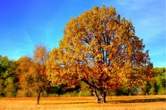 Yellow Leaf Trees Royalty Free Stock Images