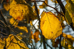 Yellow leaf on the twig in autumn forest Royalty Free Stock Photography