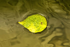 Yellow Leaf on Water Royalty Free Stock Photos