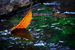 Yellow leaf in the water. Beautiful yellow leaf in the water royalty free stock images