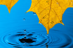 Yellow Leaf and Water Drop Royalty Free Stock Photography