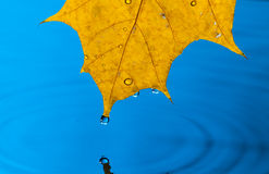 Yellow Leaf and Water Drop. With Reflection Royalty Free Stock Photography
