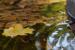 Yellow leaf on water. Yellow maple leaf on the fountain water with other leaves Stock Images