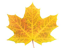 Yellow leaf on white Stock Images
